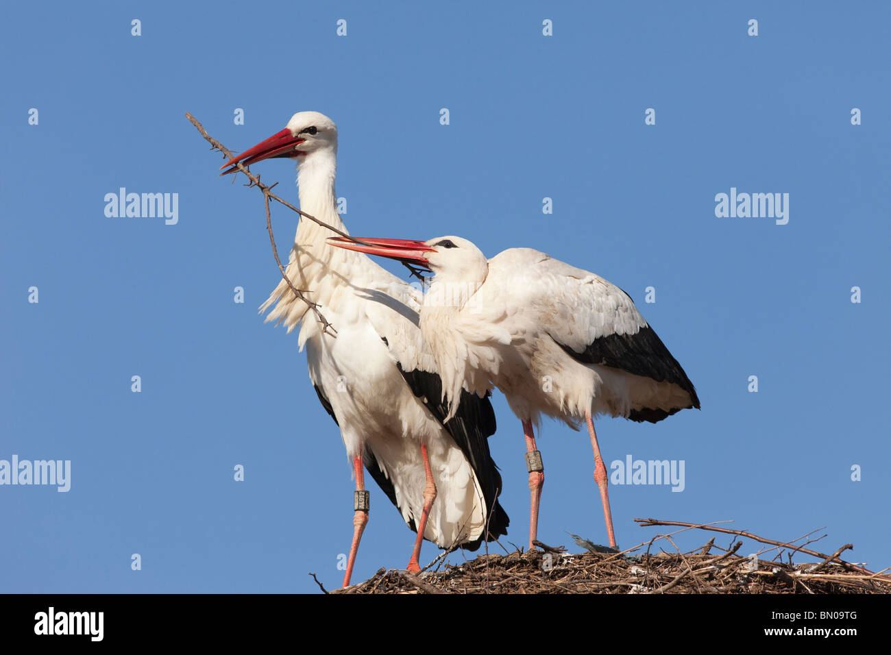 European White Stork (Ciconia ciconia), pair building its nest. - Stock Image