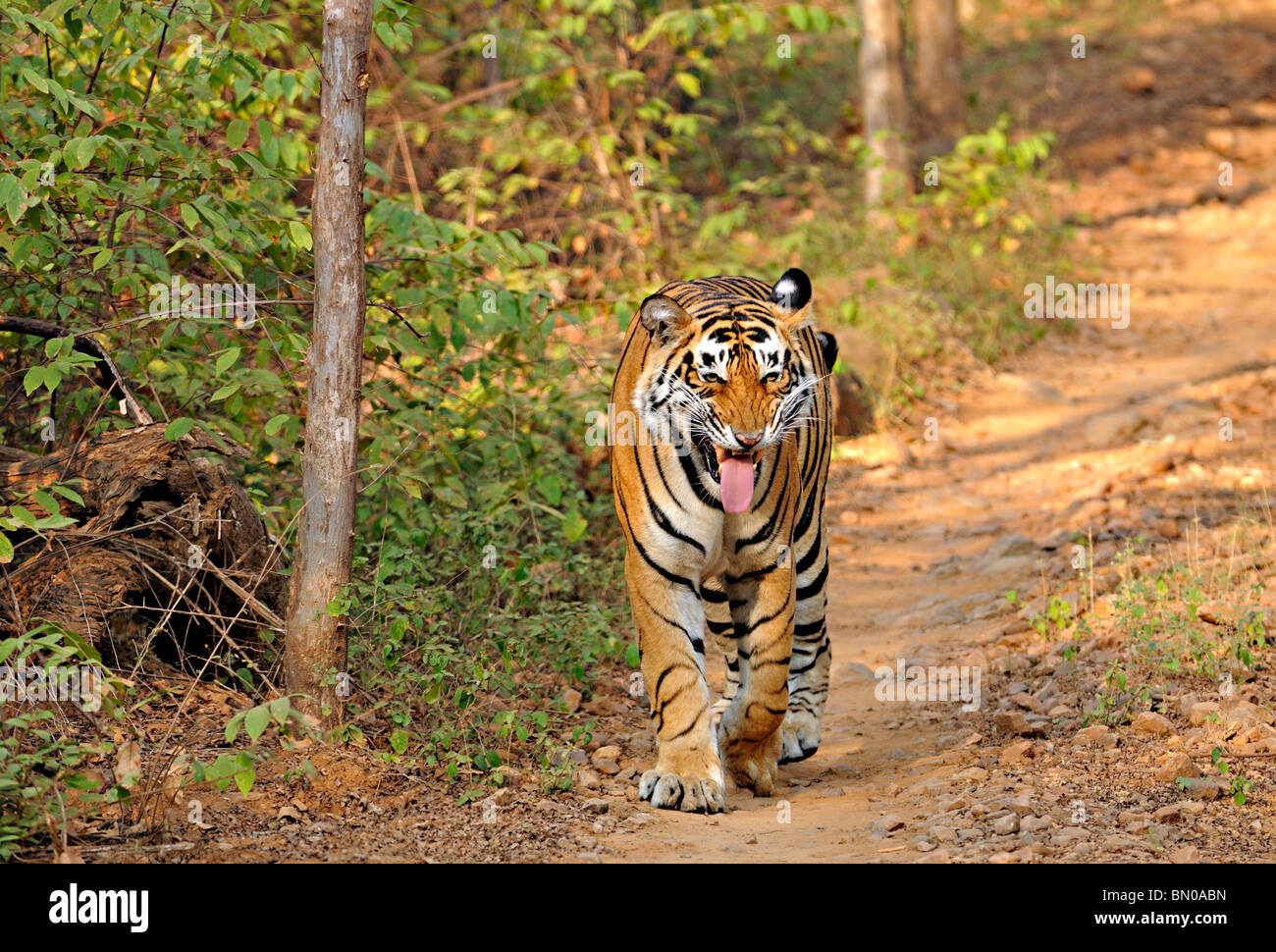 Tiger walking on a road in Ranthambhore national park, India - Stock Image