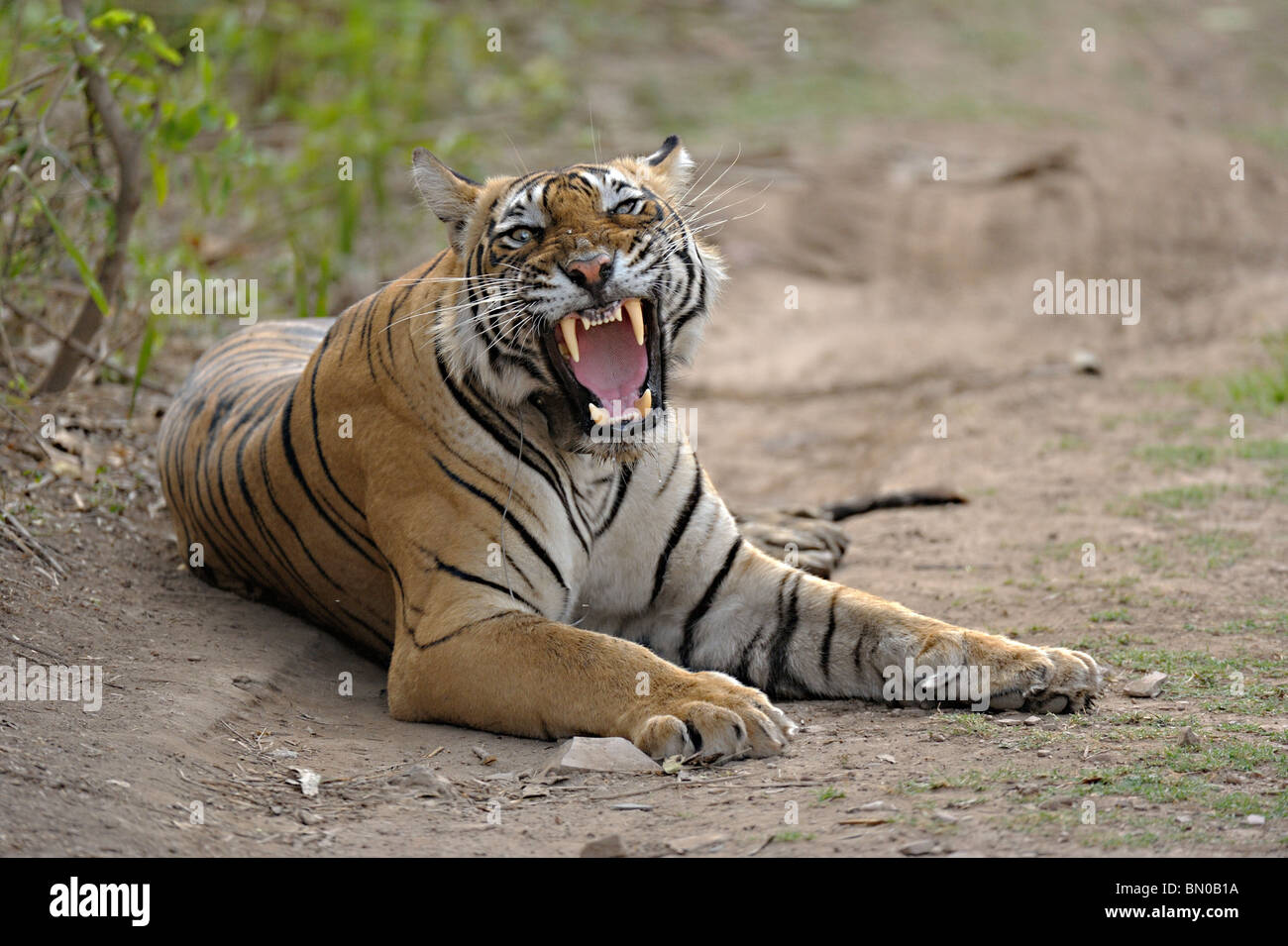 Wild Tigers radio collared in Ranthambore national park in India, for scientific research - Stock Image
