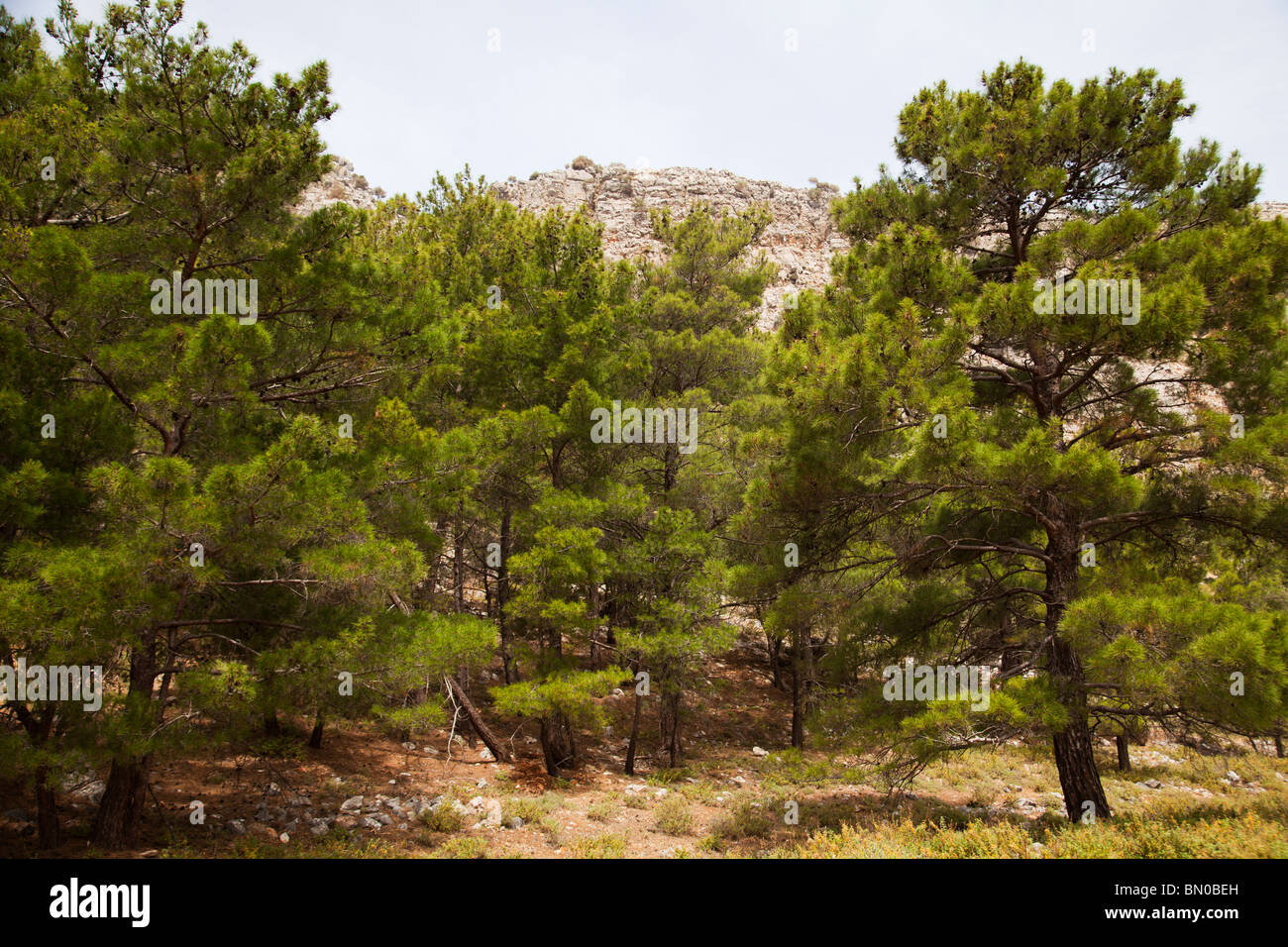 Pine forest pine trees Rhodes Greece - Stock Image