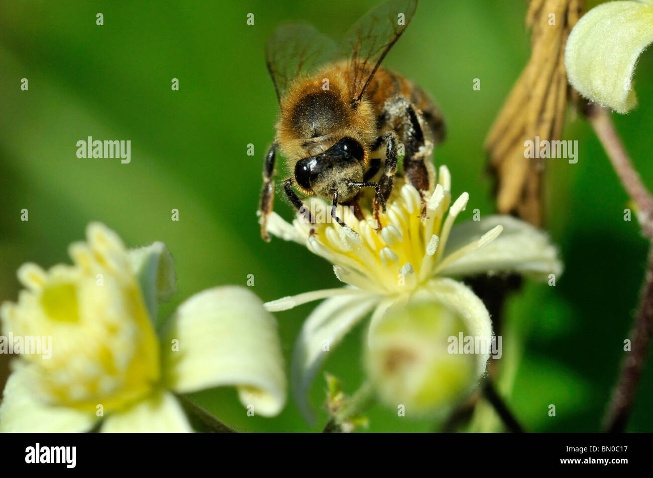 Apis mellifera, European honey bee or western honey bee on Clematis vitalba flower - Stock Image