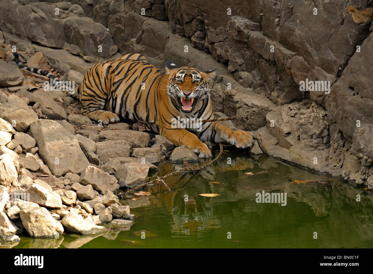 Tiger in a rocky water hole in Ranthambhore national park, India - Stock Image