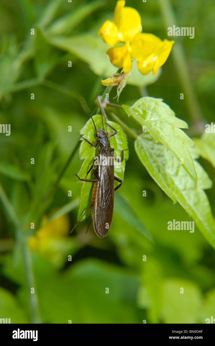 Plecoptera Perla - Stock Image