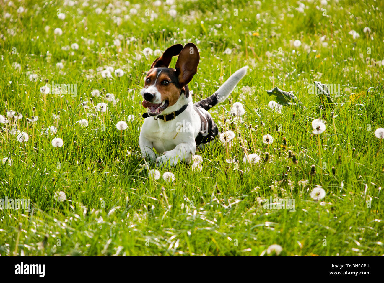 Basset Beagle crossbreed (Bagel), running through a field of dandelions - Stock Image