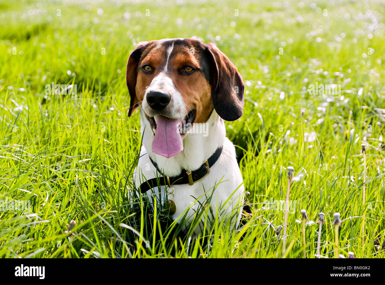 Basset Beagle crossbreed (Bagel), in a field - Stock Image