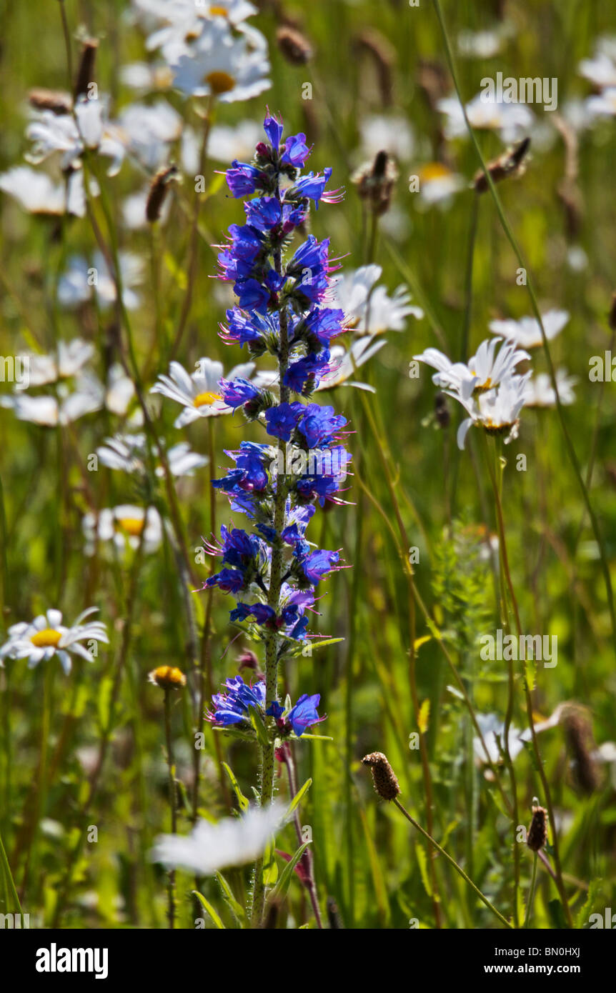 Wildflower meadow at Ness Gardens, Wirral - Stock Image