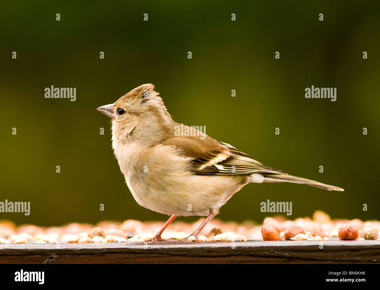 A female chaffinch on a bird table - Stock Image