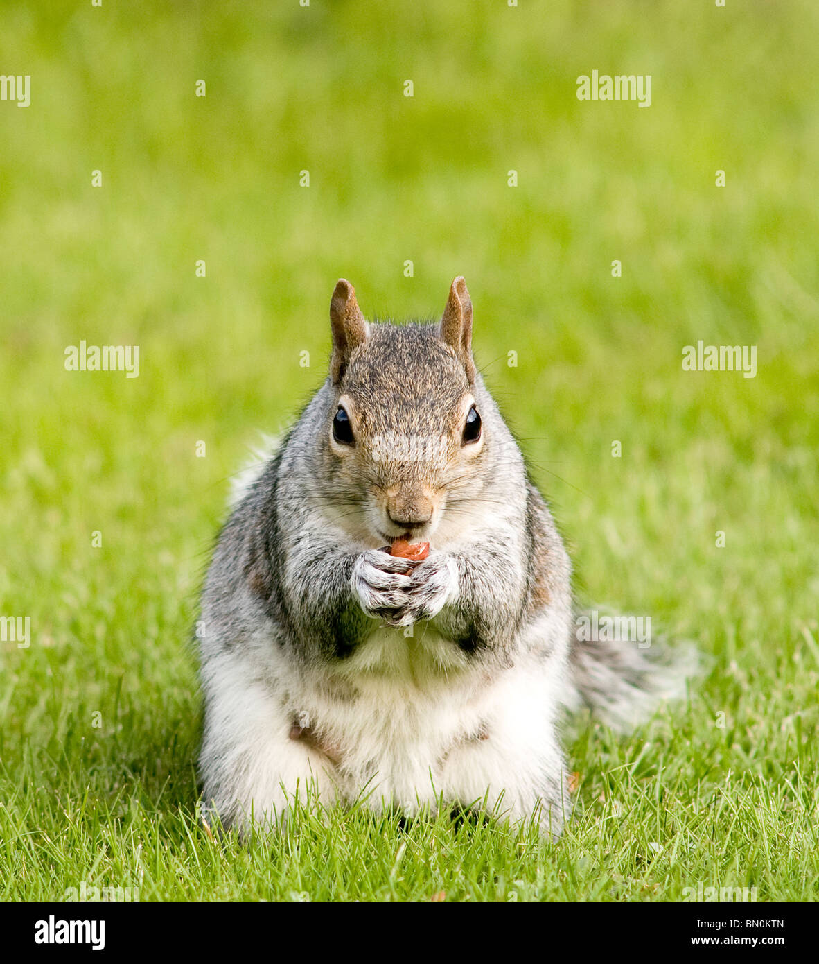 A grey squirrel eating a nut Stock Photo