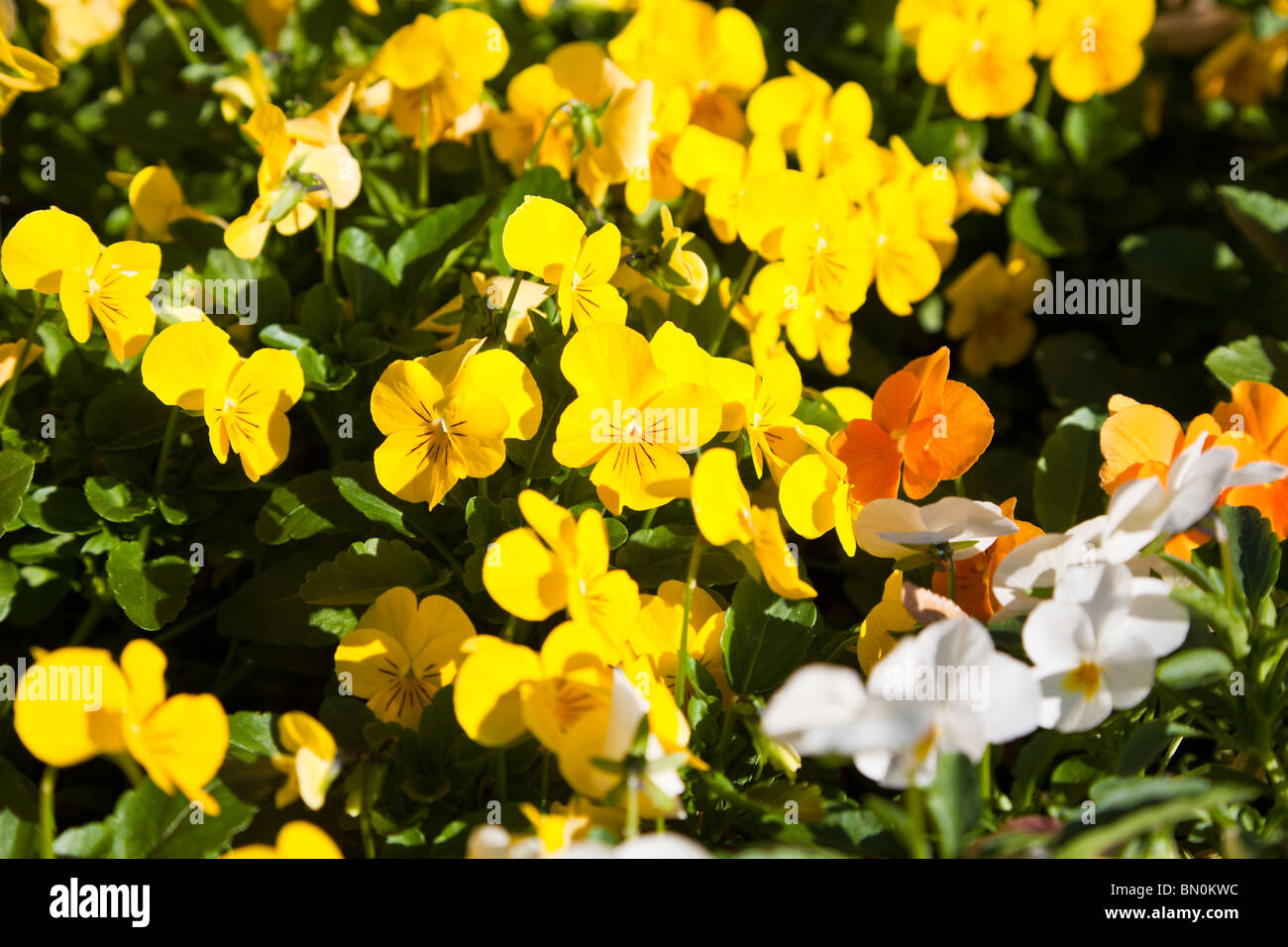 Orlando, FL - Jan 2009 - Colorful yellow, white and orange pansies in a garden in central Florida - Stock Image