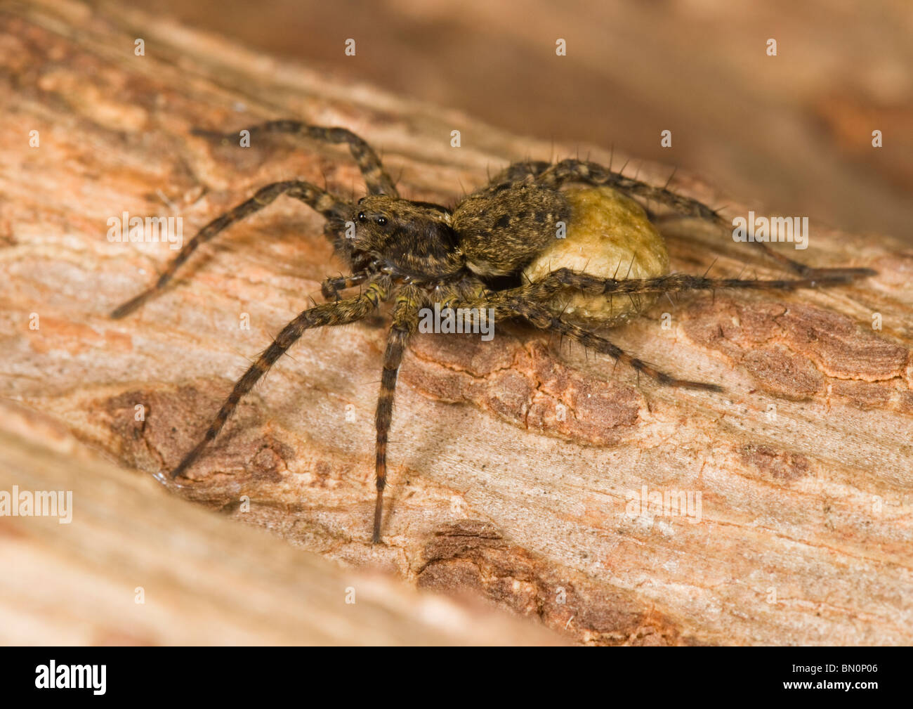 A female wolf spider looking after her brood. - Stock Image