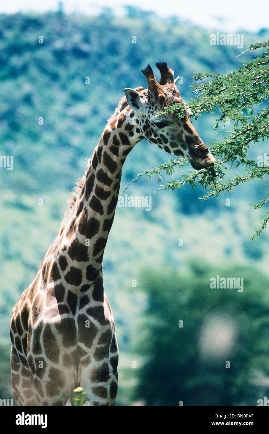 A Rothschild giraffe elegantly munches from an acacia, or thorn tree - Stock Image