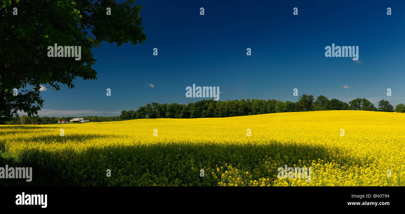 Field of yellow rapeseed crop with farmhouse trees and blue sky Stock Photo