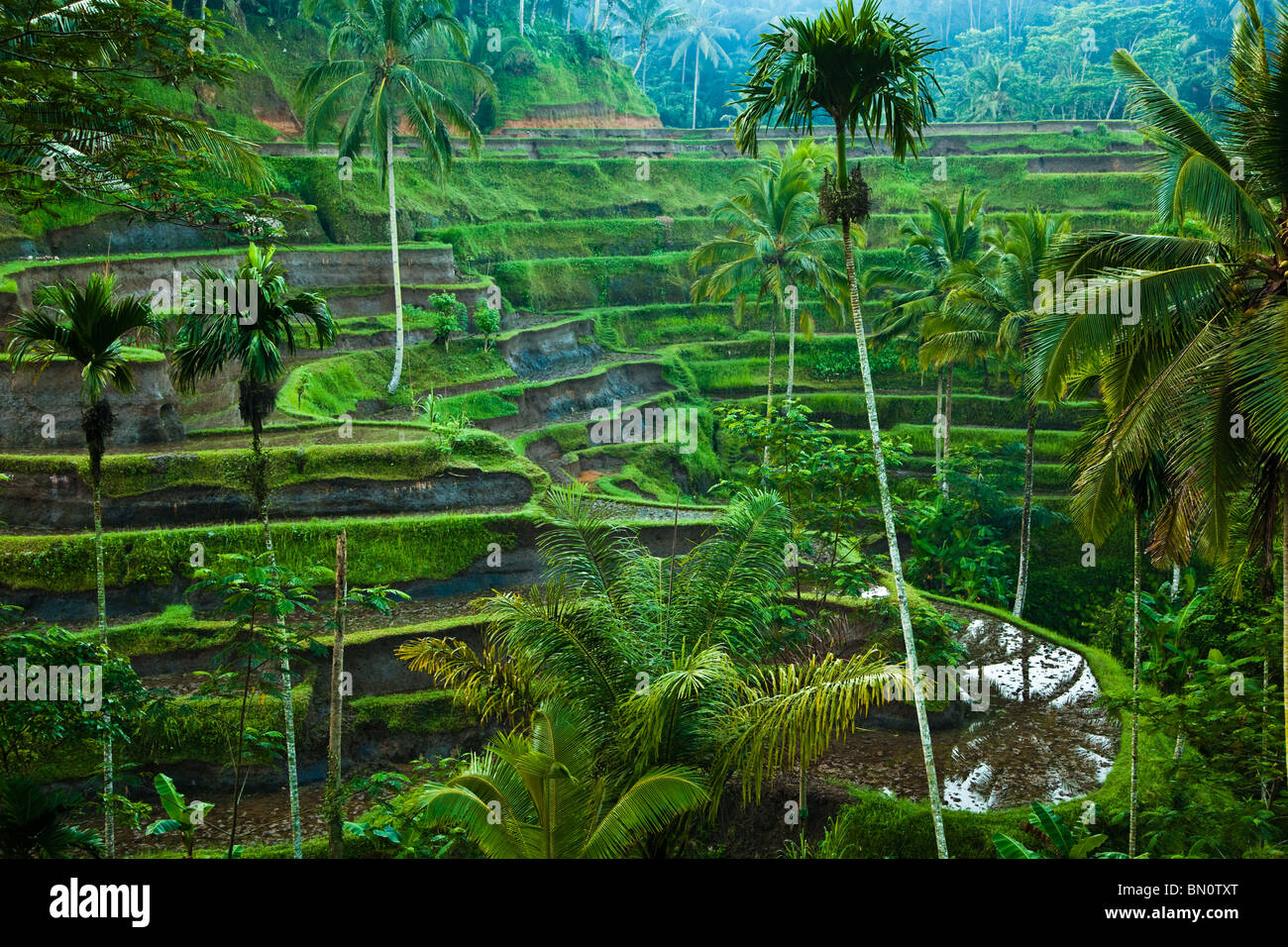 Tegelelang it is a popular excursion for visitors to Ubud to go up and admire the many rice terraces. - Stock Image