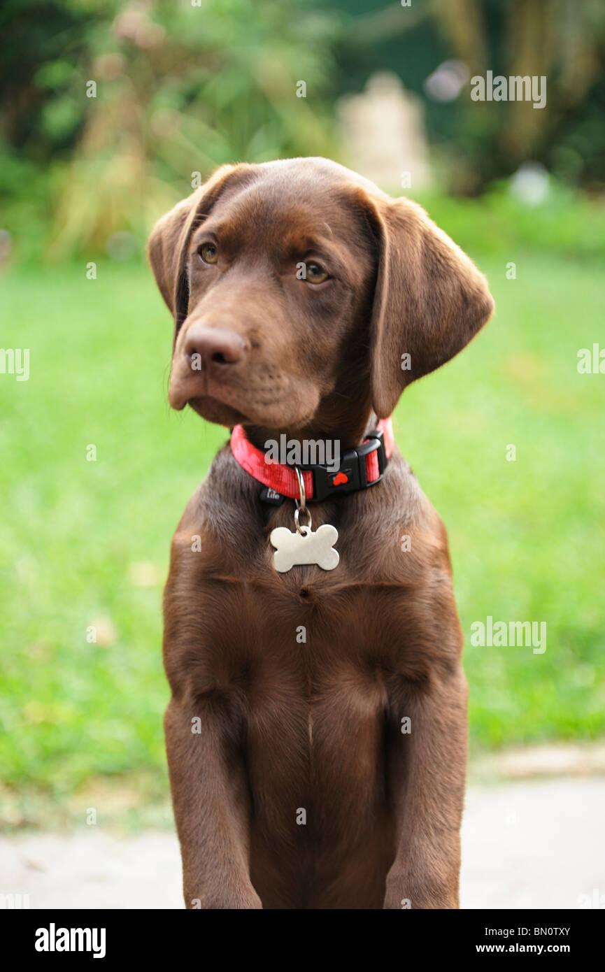 Chocolate brown Labrador Retriever puppy dog - Stock Image