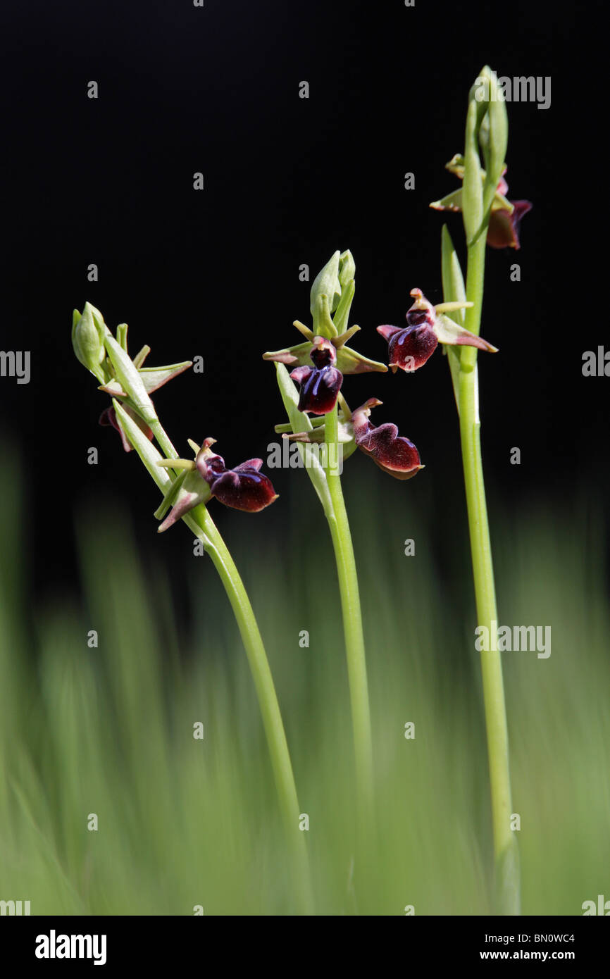 Early Spider Orchid, Ophrys mammosa, Greece Stock Photo