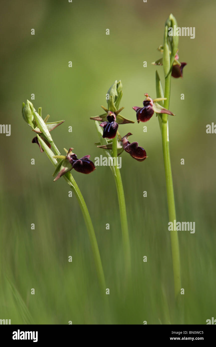 Early Spider Orchid, Ophrys mammosa, Greece - Stock Image