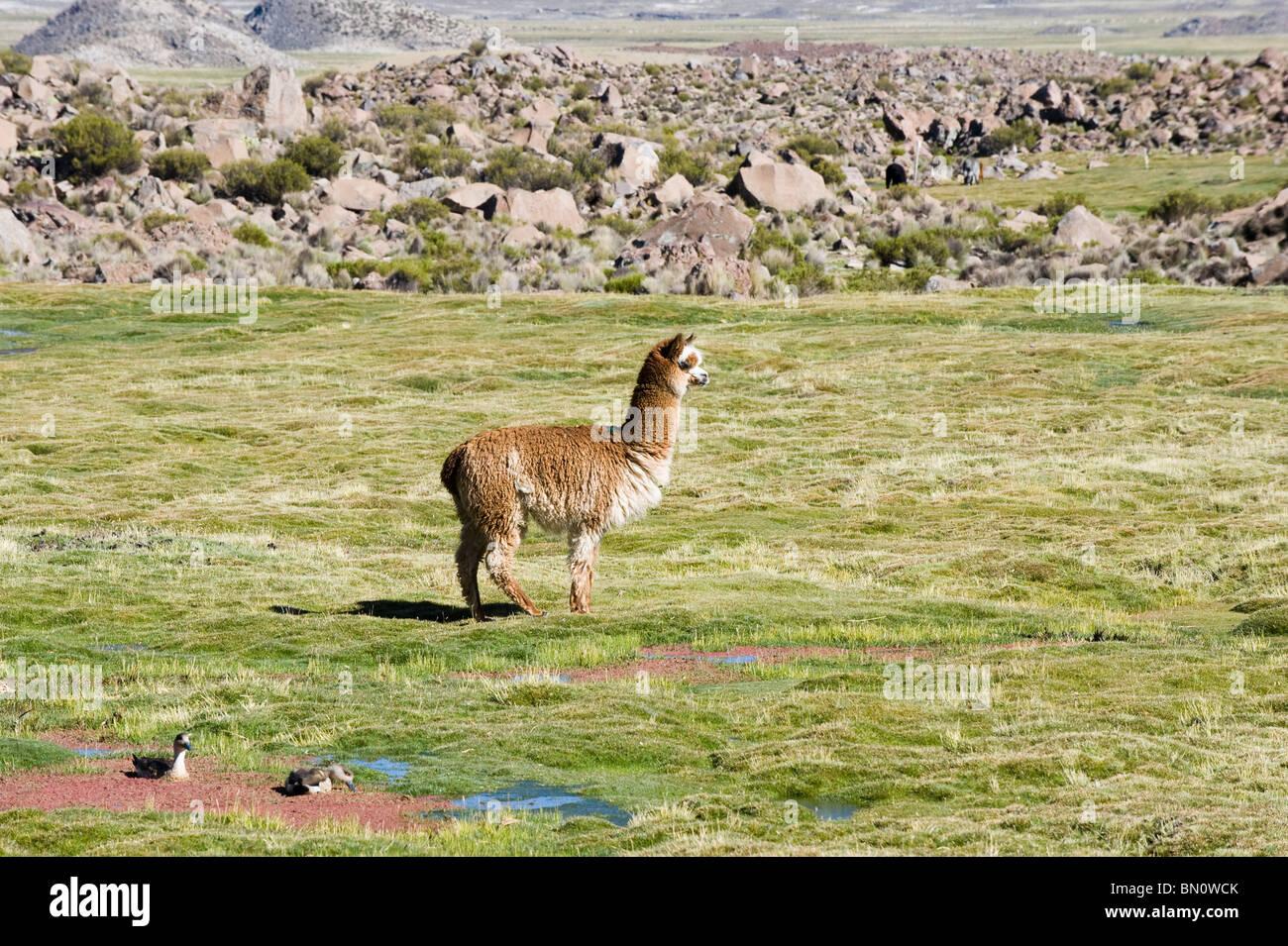 Alpaca (Lama pacos), Camelidae family, Lauca National Park, Arica and Parinacota Region, Chile - Stock Image