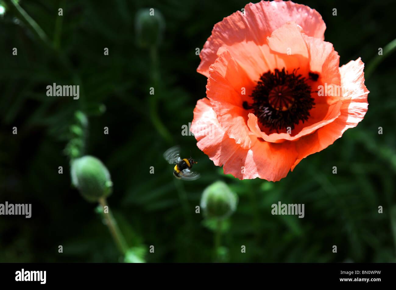 An Oriental Poppy About To Flower In Sussex Garden Uk Summer Weather