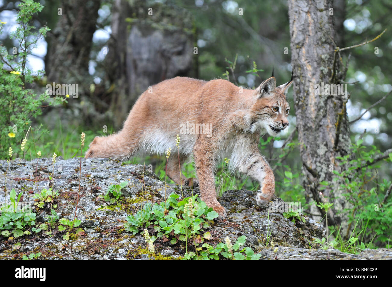 A large male Siberian Lynx stalking his prey - Stock Image