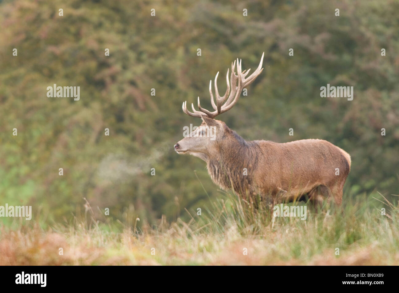 Red Deer stag portrait Stock Photo