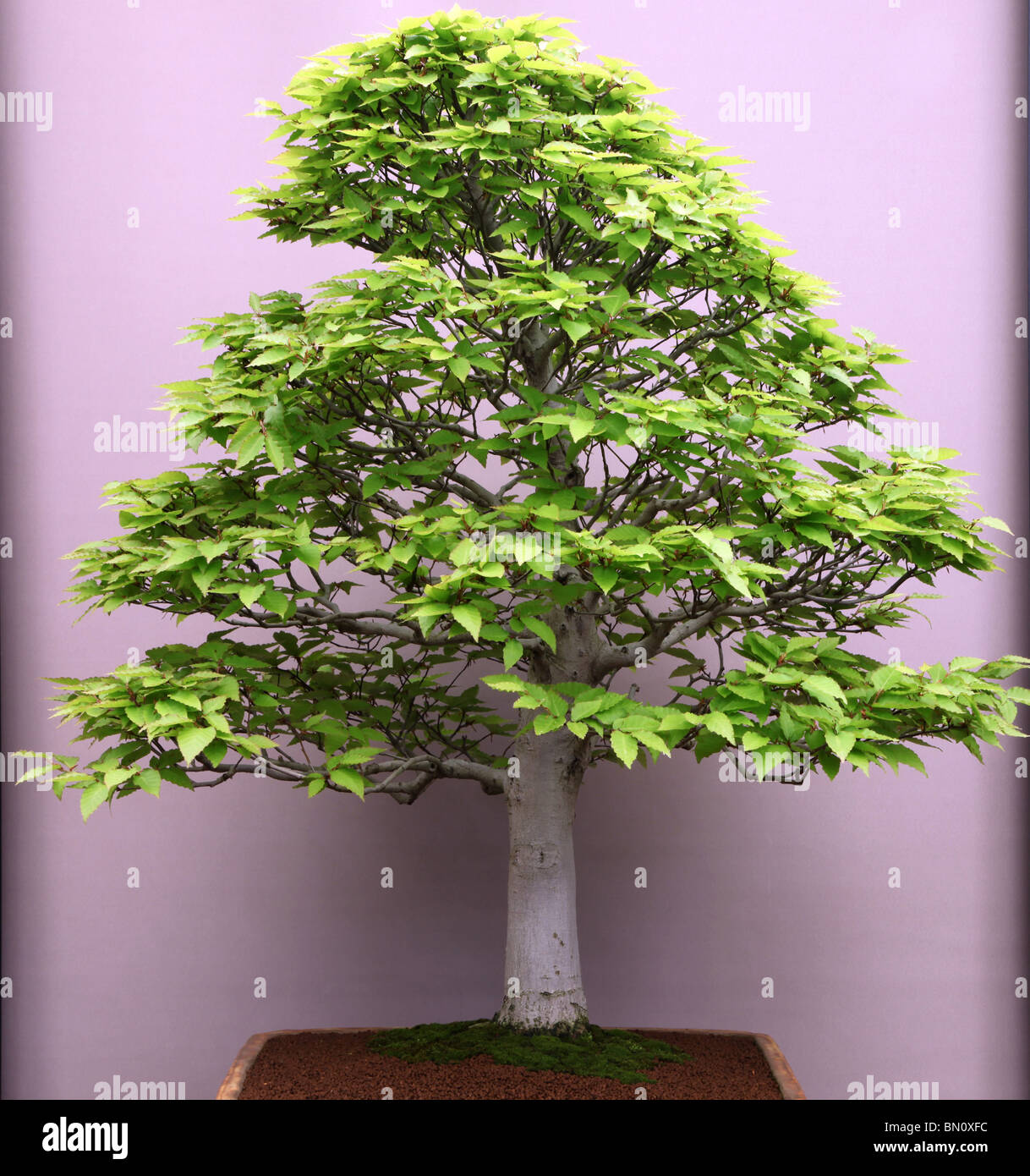 Beech Bonsai Tree High Resolution Stock Photography And Images Alamy