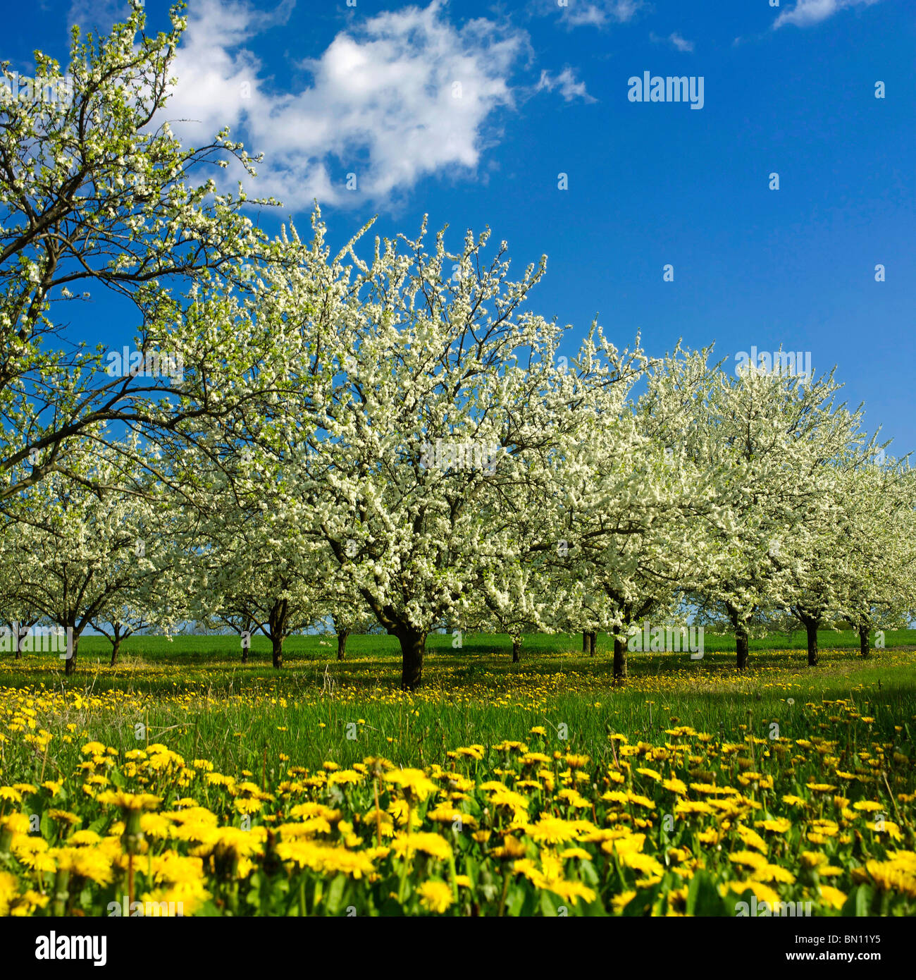 Apple trees with apple blossom.in an orchard - Stock Image