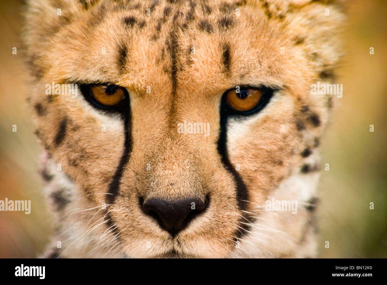 Cheetah portrait, Namibia, Africa - Stock Image