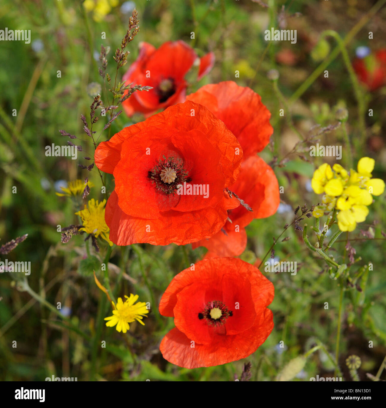 Poppies and wild flowers growing on the edge of a field of barley English countryside - Stock Photo