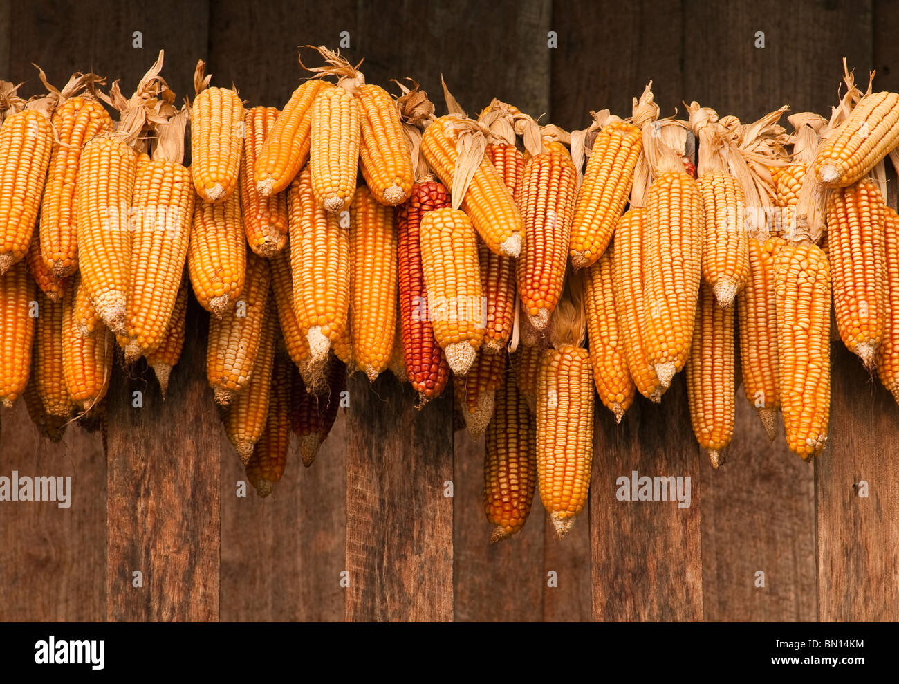 Ears of corn drying; Sridongyen Lisu village, Chiang Mai Province, Thailand - Stock Image