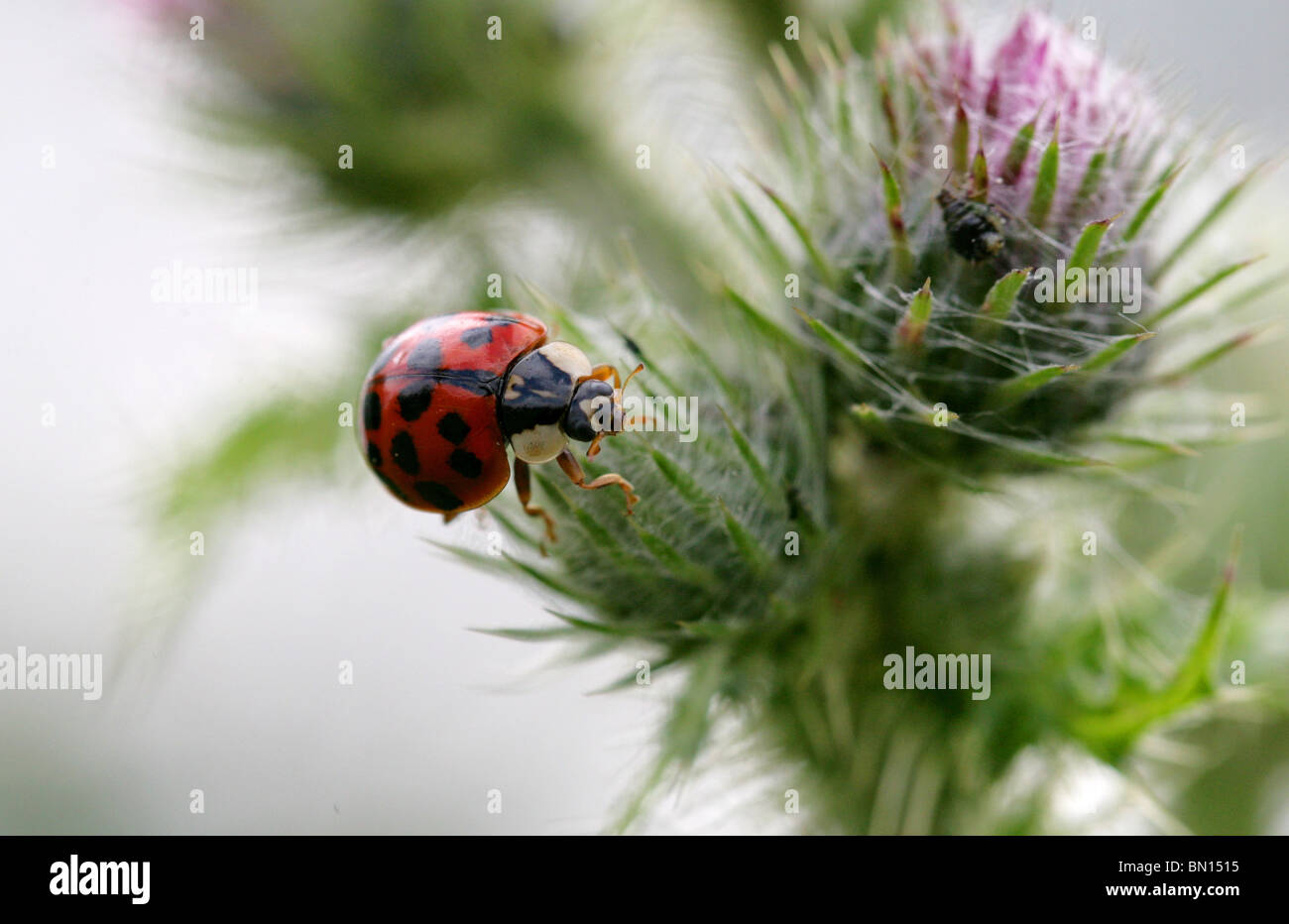 Seventeen Spot Harlequin Ladybird Beetle, Harmonia axyridis, Coccinellidae, Coleoptera - Stock Image