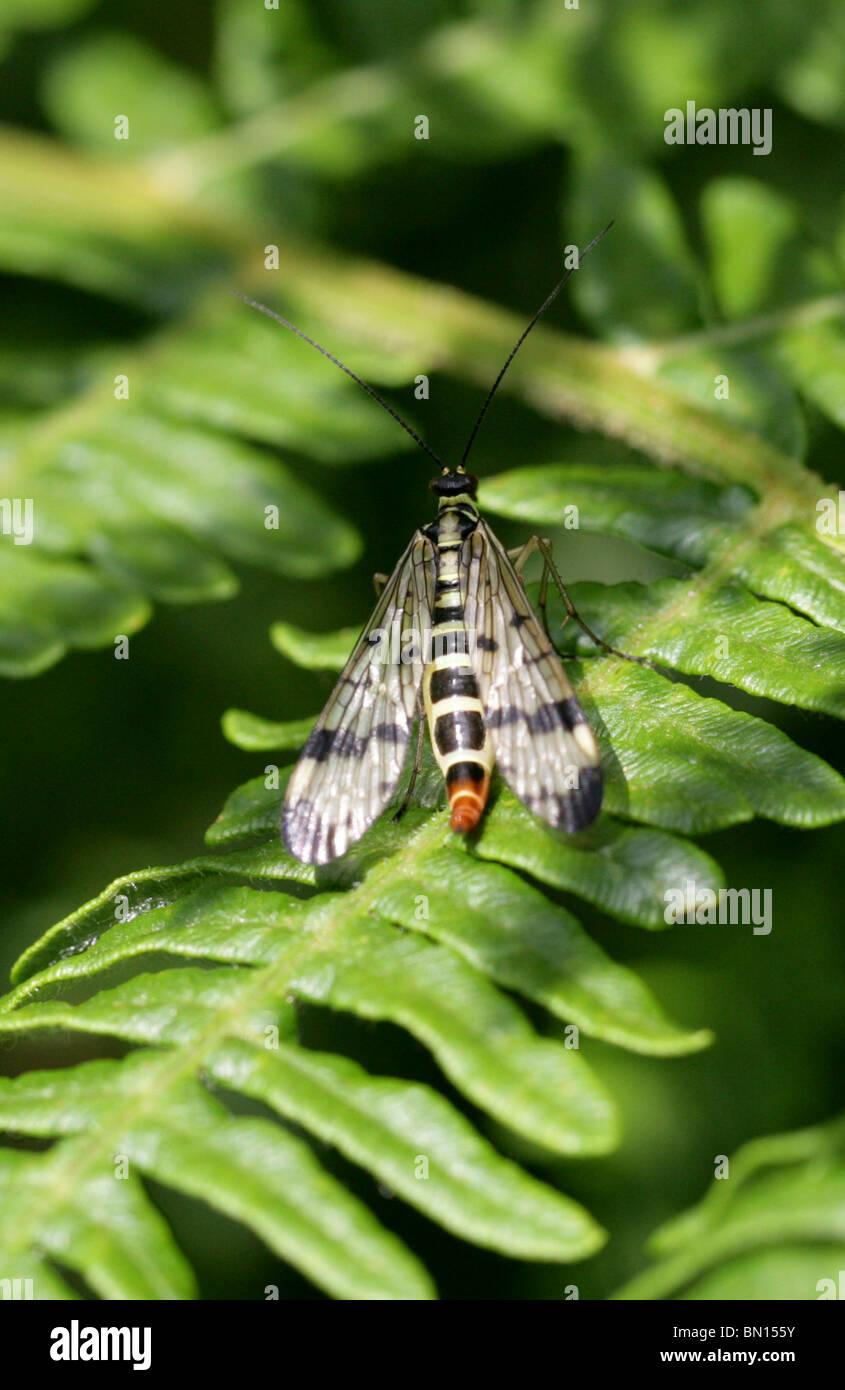Scorpion Fly, Panorpa communis, Panorpidae - Stock Image