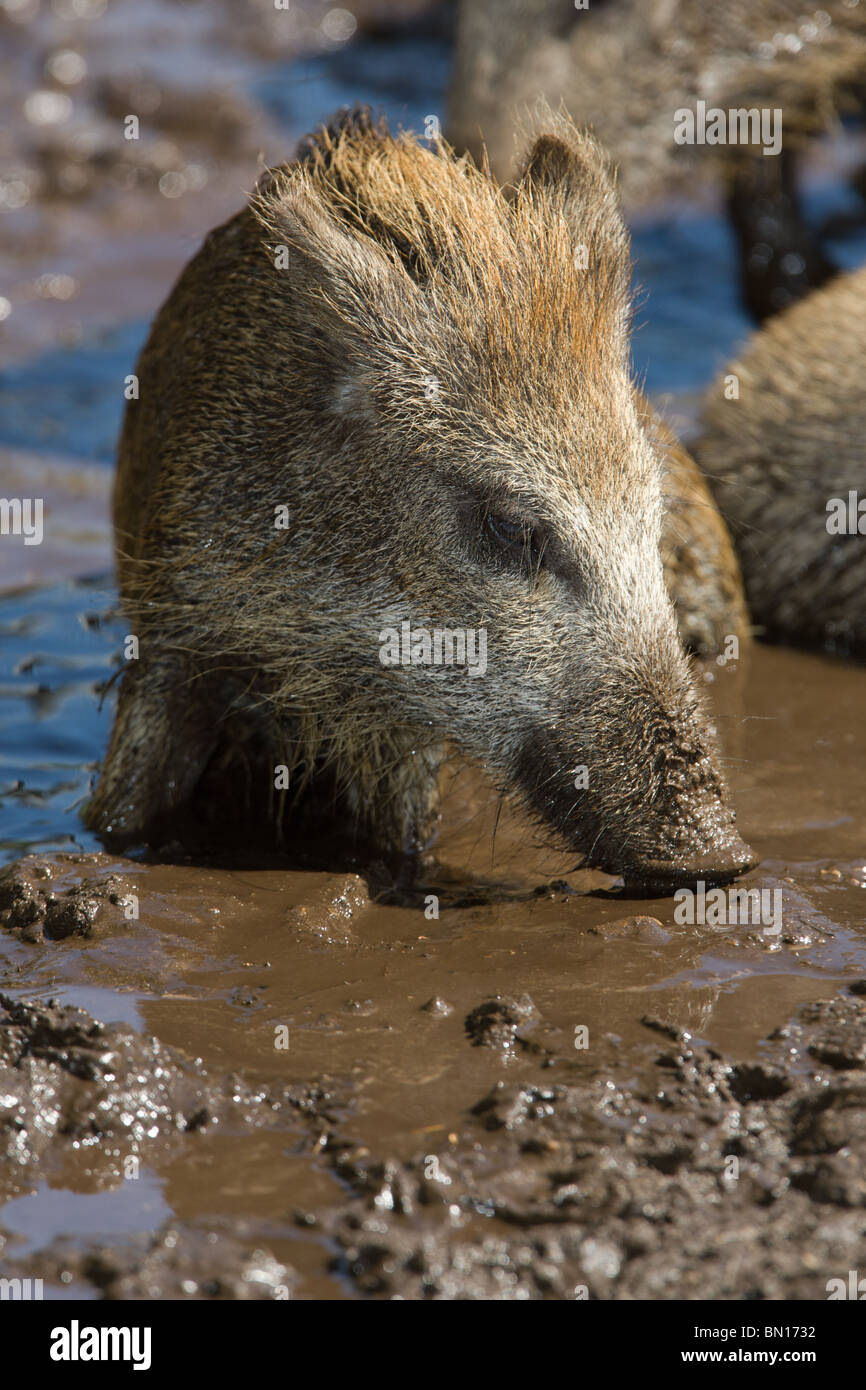 young Wild Boar taking a mud bath - Sus scrofa - Stock Image