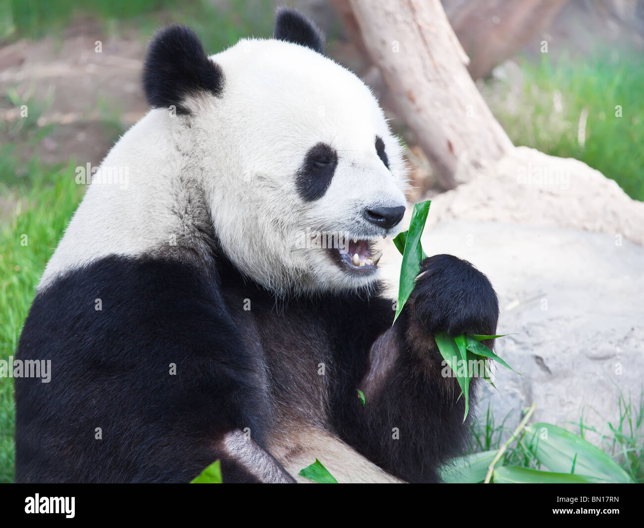 Giant panda is eating green bamboo leaf - Stock Image