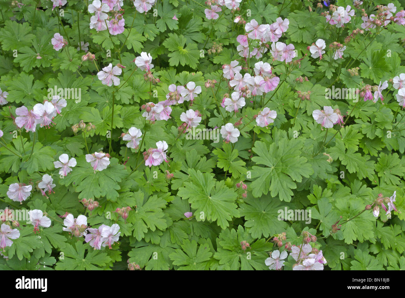 Perennial ground cover stock photos perennial ground cover stock geranium macrorrhizum an early summer flowering perennial ground cover plant stock image mightylinksfo