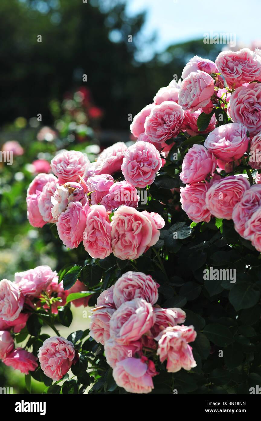 leonardo da vinci rose stock photos leonardo da vinci rose stock images alamy. Black Bedroom Furniture Sets. Home Design Ideas