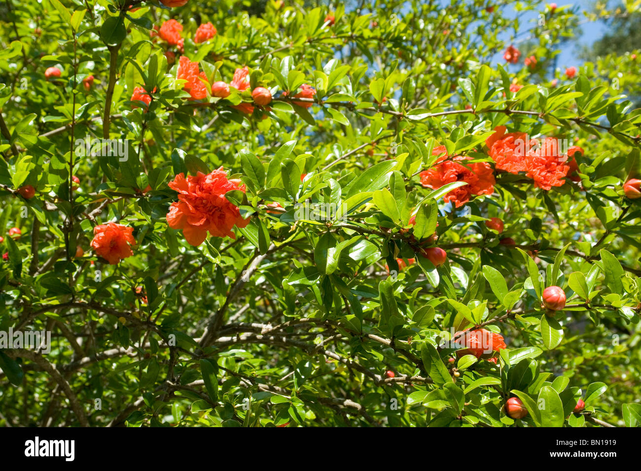 Flowers of a Pomegranate tree (Punica granatum). Fleurs de grenadier (Punica granatum). - Stock Image