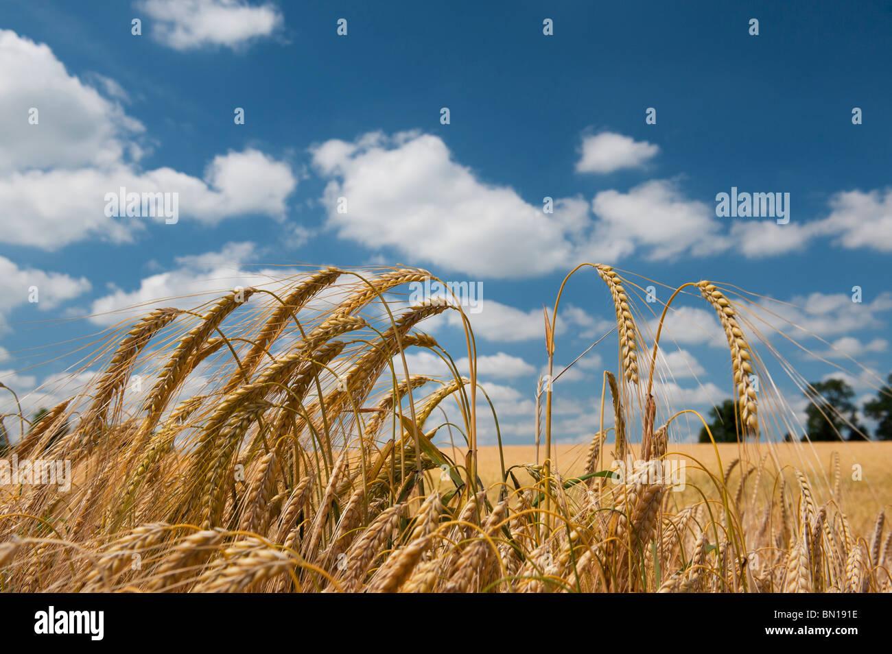 Barley ripening in a field in the English countryside - Stock Image