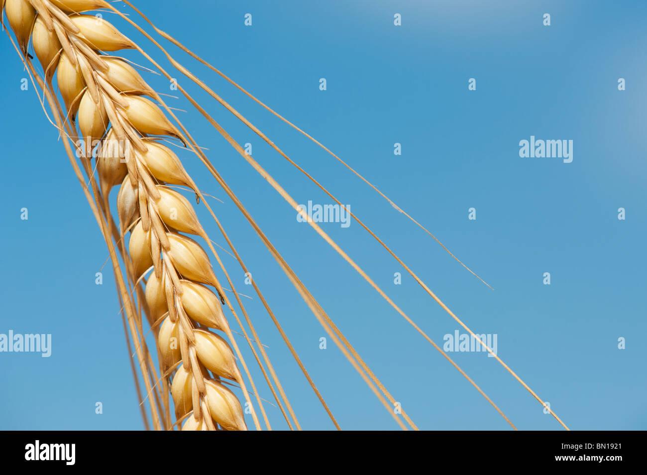 Hordeum vulgare. Single barley stem ripening against a blue sky - Stock Image