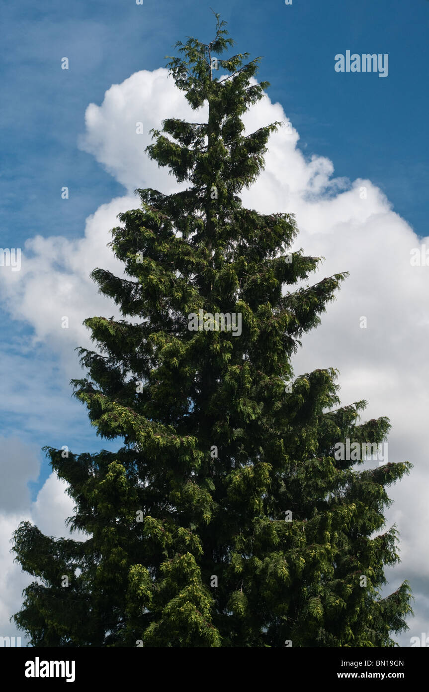 Blue sky with fluffy clouds and pine tree - Stock Image