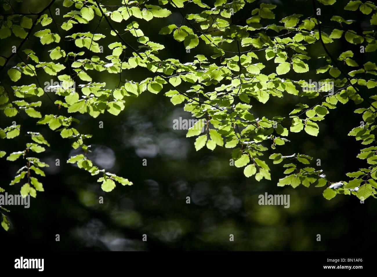 luminous beech leaves in spring - Stock Image