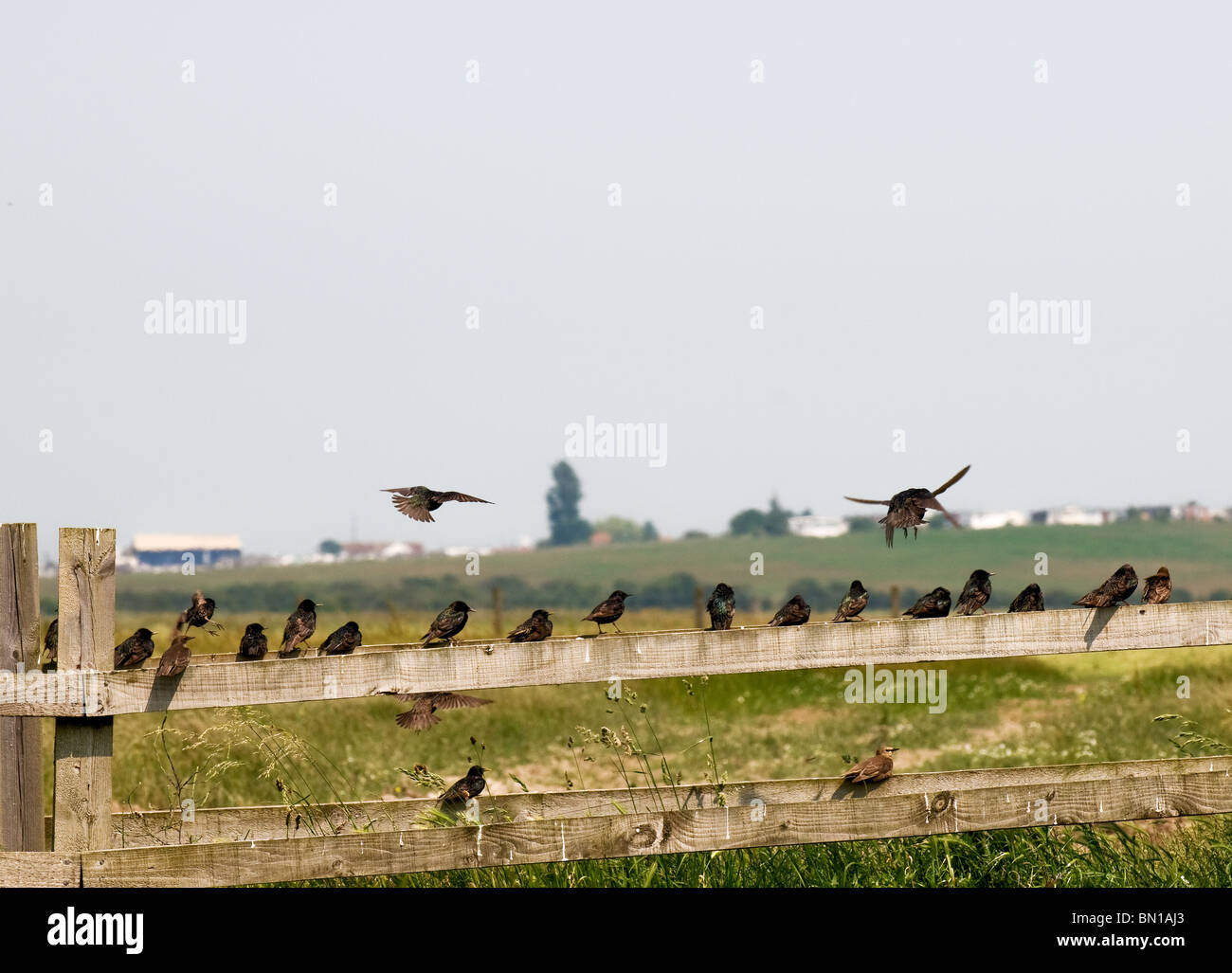 A flock of starlings perched on a wooden fence on the Isle of Sheppey in Kent.  Photo by Gordon Scammell - Stock Image