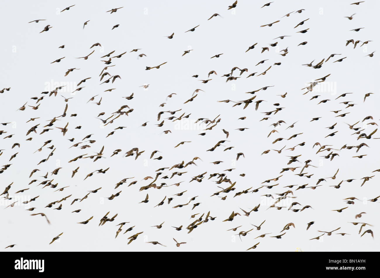 A flock of starlings.  Photo by Gordon Scammell - Stock Image