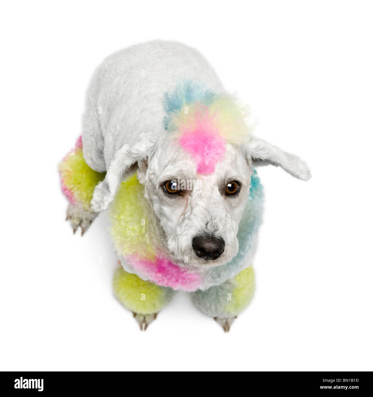 Poodle with multi-colored hair, 12 months old, sitting in front of white background - Stock Image