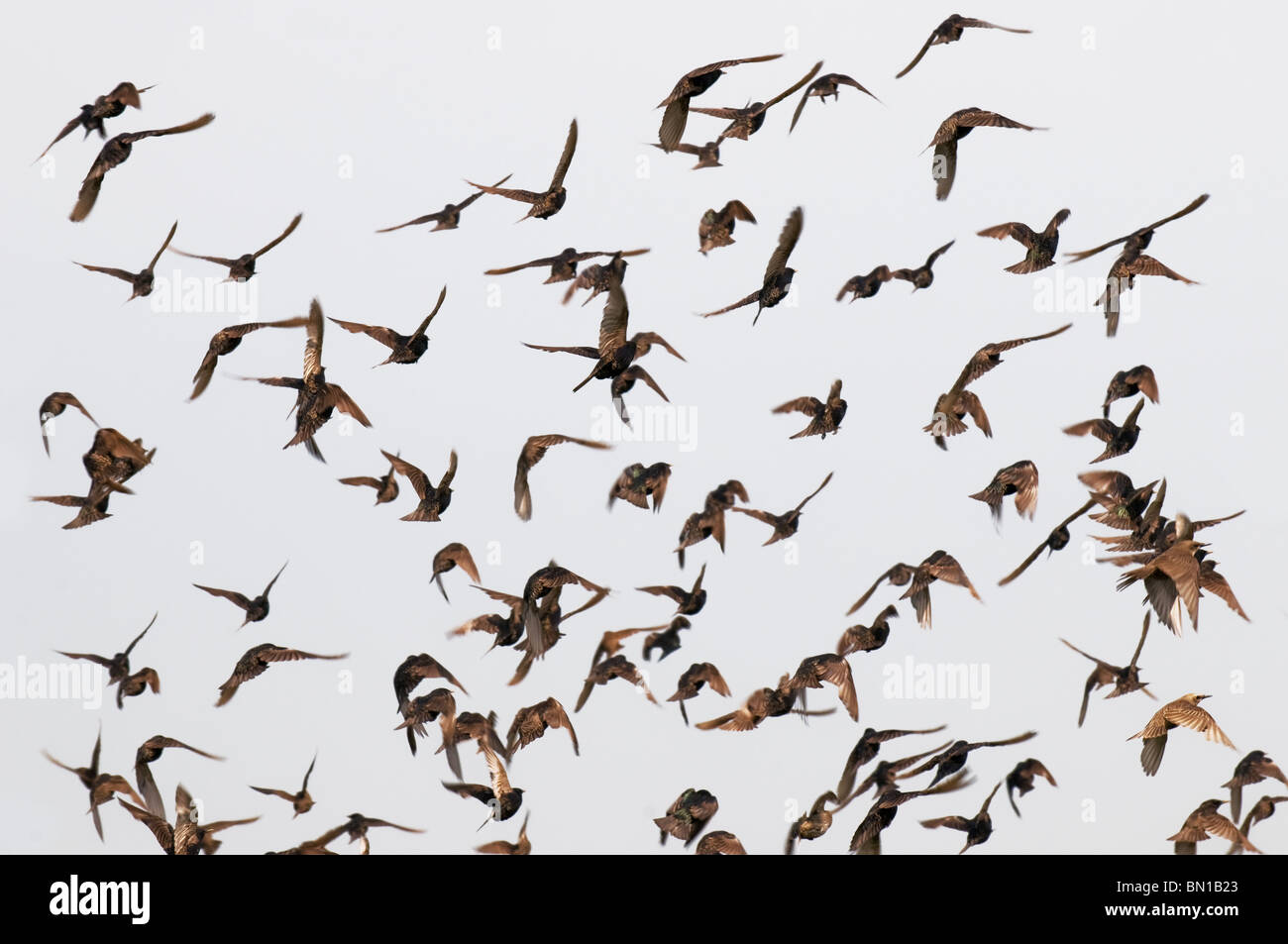 A flock of starlings. - Stock Image