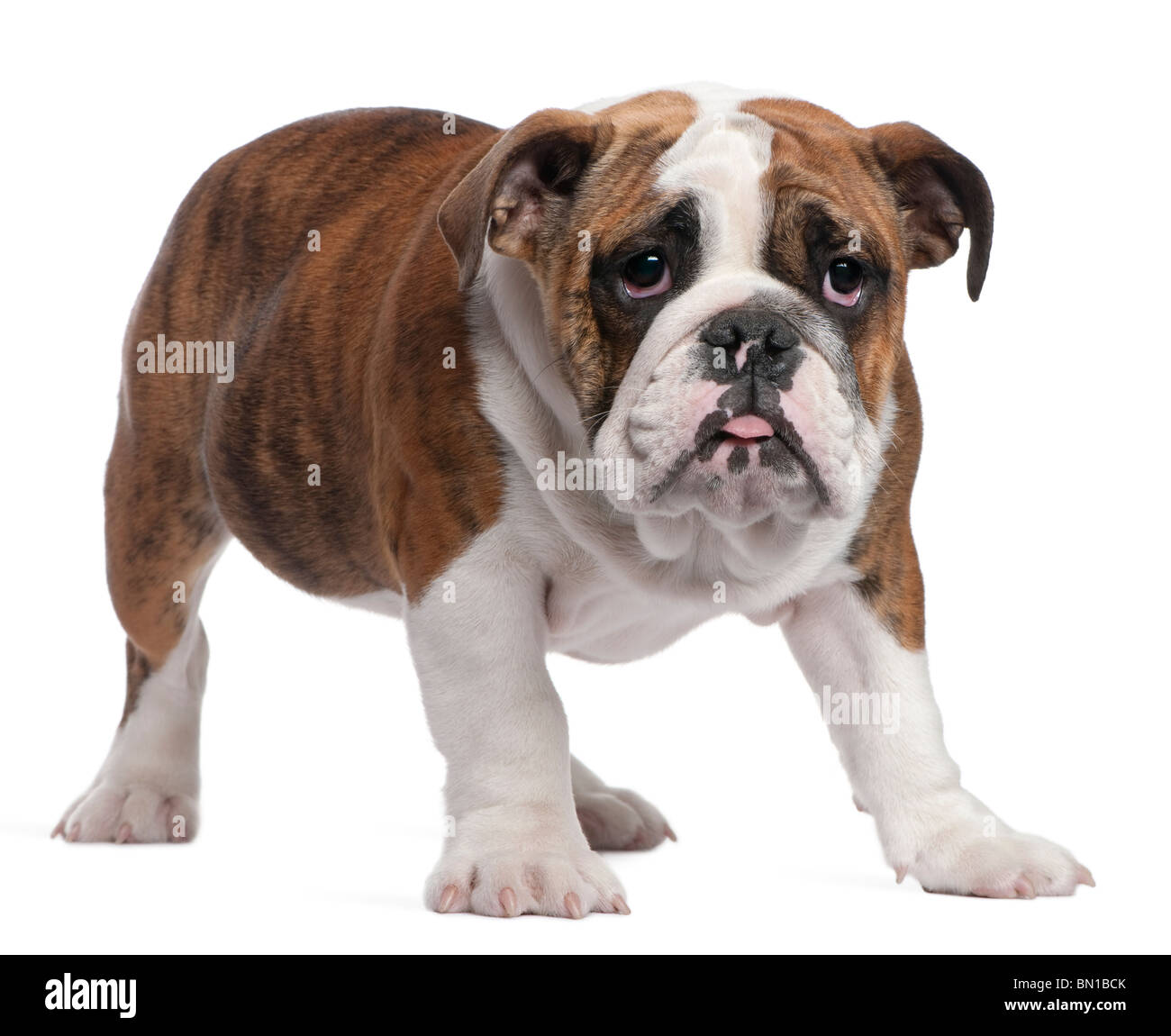 English Bulldog Puppy 4 Months Old Standing In Front Of White Stock Photo Alamy