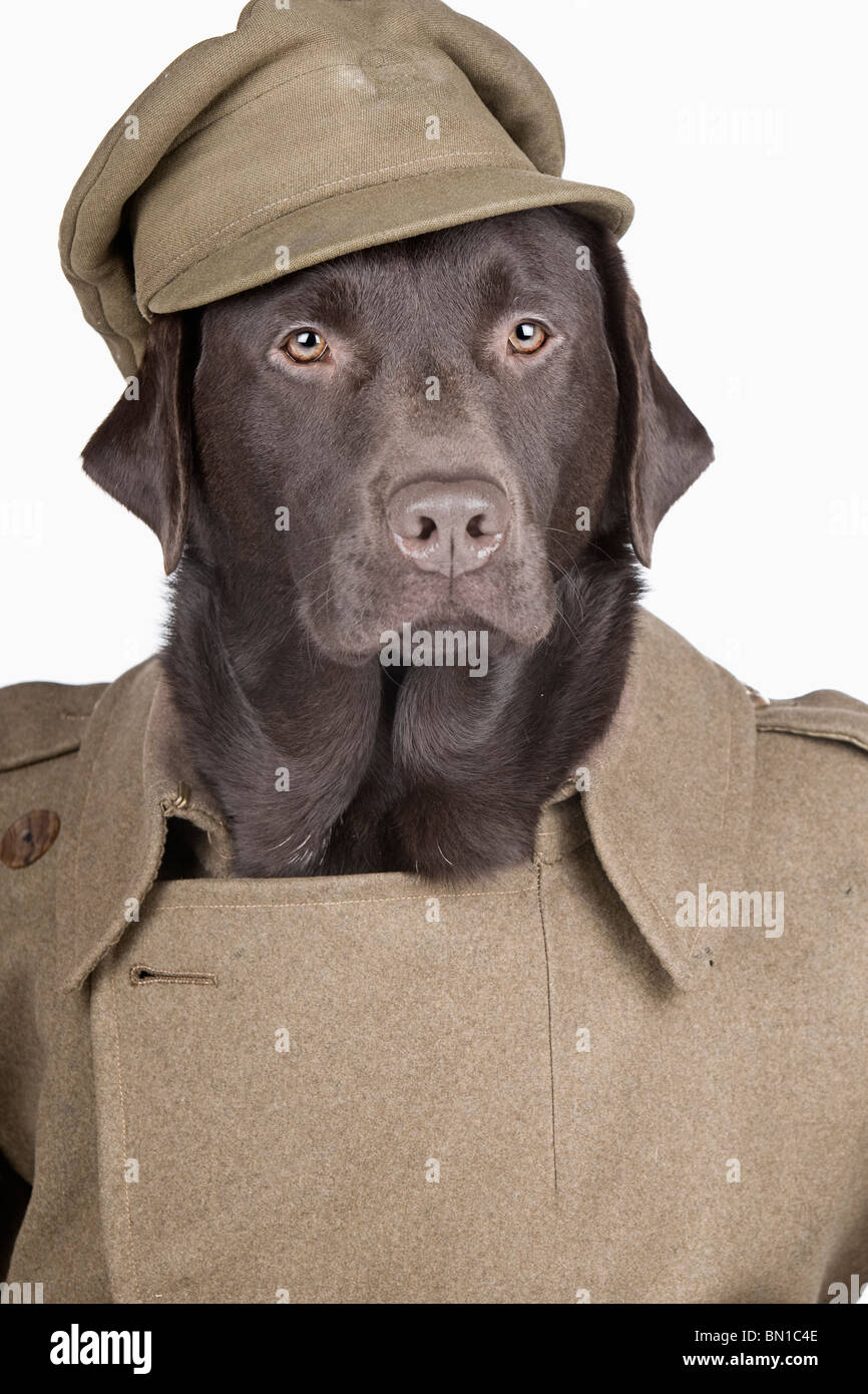 Shot of a Labrador Dressed Up in Army Uniform - Stock Image