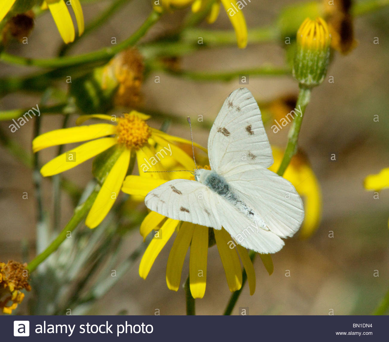 checkered-white-pontia-protodice-butterfly-new-mexico-BN1DN4.jpg