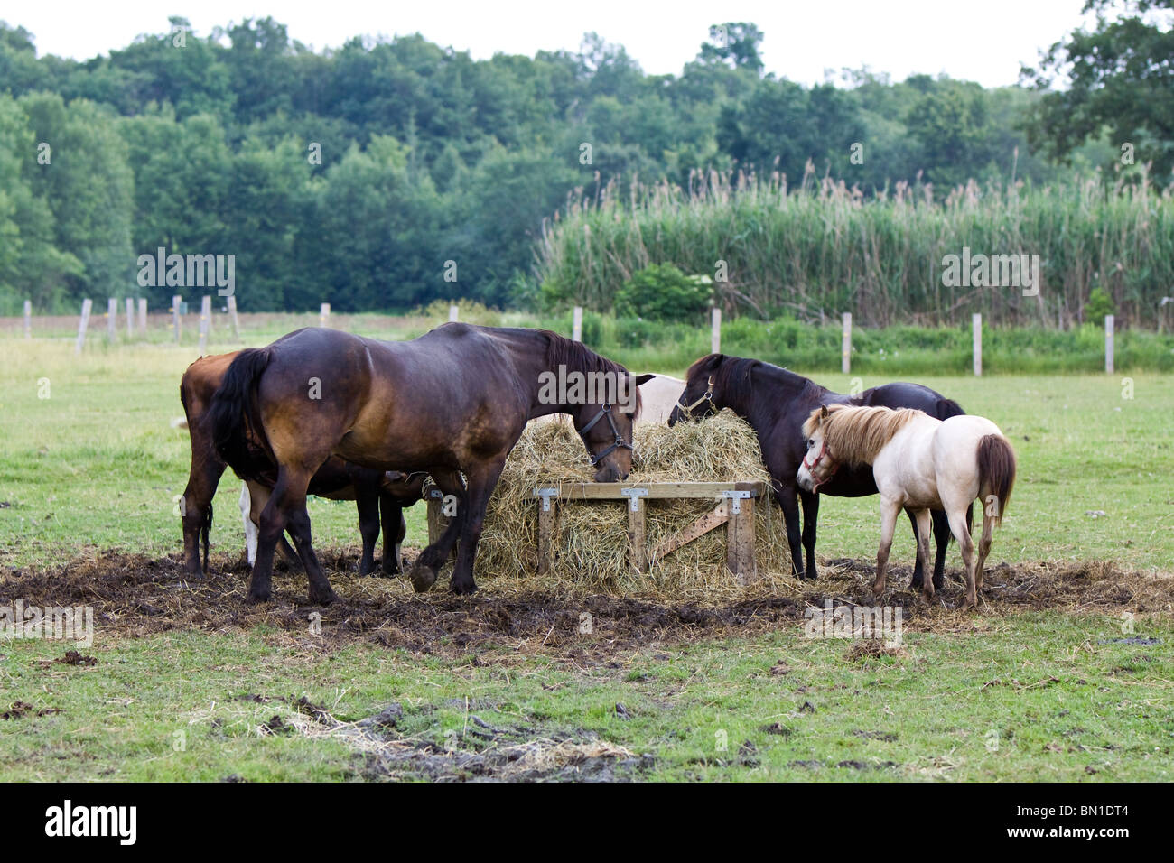 Three horses are eating grass from the manger at the farm. - Stock Image