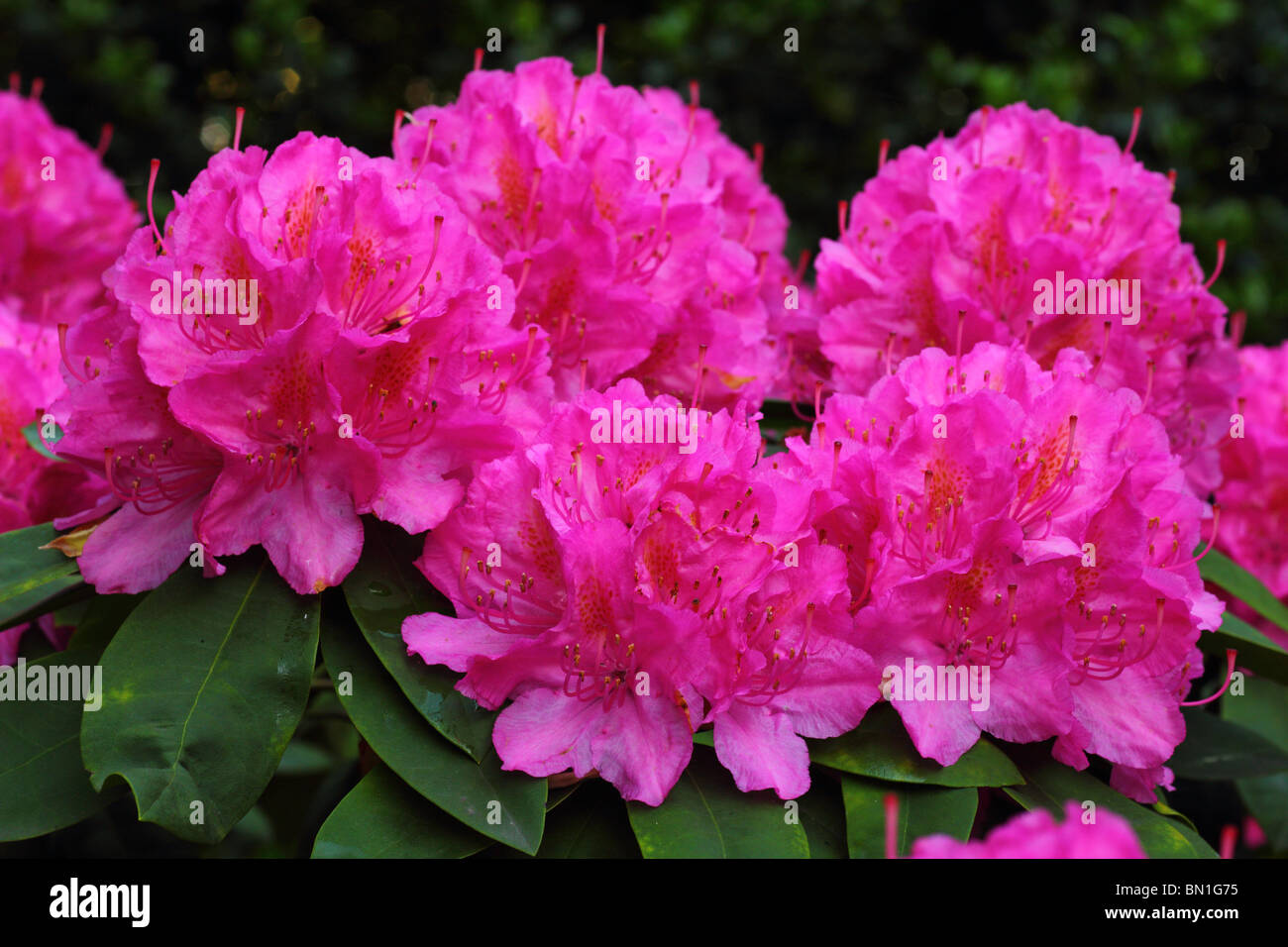 Pink rhododendron flowers close up - Stock Image