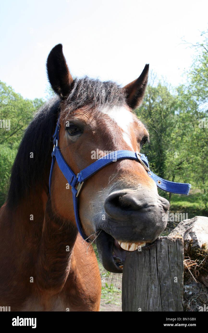 Amusing Horse Chewing Wooden Post Taken in Lancashire, UK - Stock Image